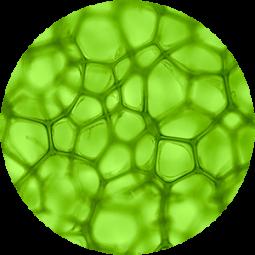 Ingredient - Algae Extract