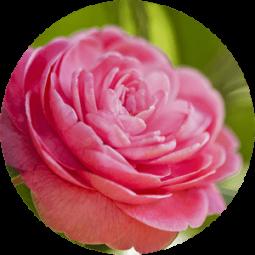Ingredient - Camellia Japonica Oil