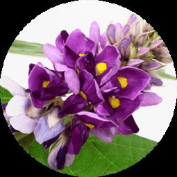 Ingredient - Pueraria Mirifica